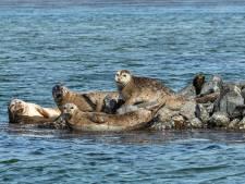 ReddingsTeam Zeedieren slaat alarm: helft van  jonge zeehonden sterft