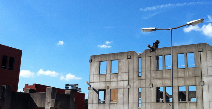 Adelaar Hunter van de politie jaagt op drones Foto Geert Nijland