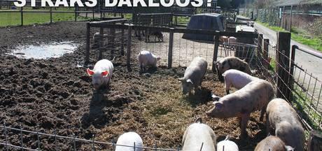 Varkens in Nood komt op voor Wehls bedrijf dat 'wordt weggepest'