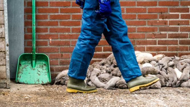 Nederlandse nertsenhouders moeten begin 2021 de deuren sluiten