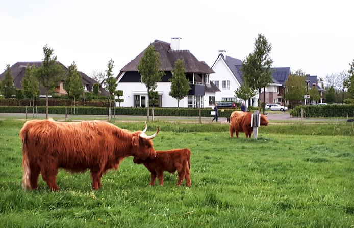 Nieuwe Hooglanders uitgezet op Landerije in Roosendaal. Foto Alfred de Bruin