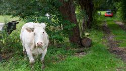 Koeien breken uit op weide