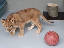 'Gedumpt leeuwenwelpje Remy afkomstig van Frans circus'