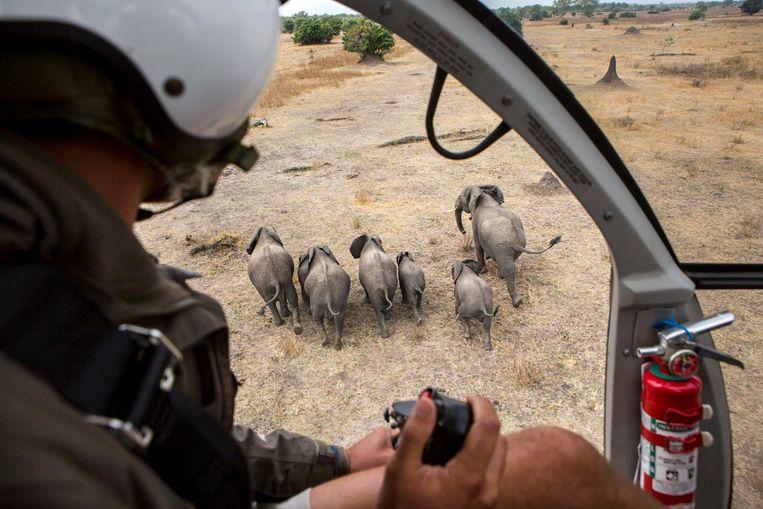 Liwonde National Park in Malawi, een familie olifanten wordt verdoofd door medewerkers van natuurbehoudorganisatie African Parks, zodat ze verplaatst kunnen worden naar een gebied met meer voedsel en ruimte. Beeld Julius Schrank