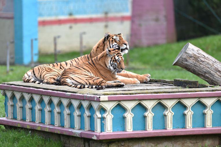 De Bengaalse tijgers Kiara en Mira kampten met een hele reeks medische problemen.