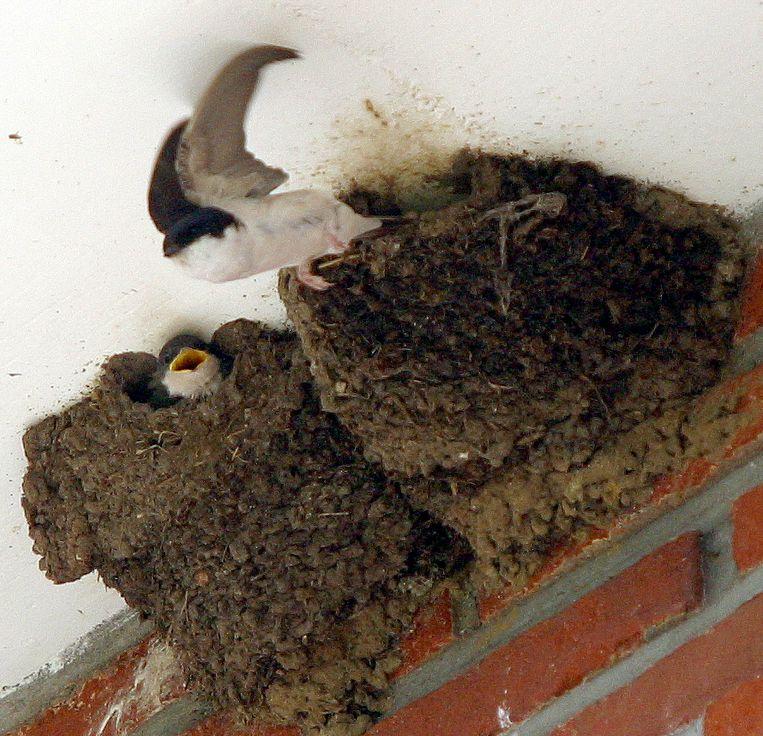 Een illustratiebeeld van een zwaluwnest.