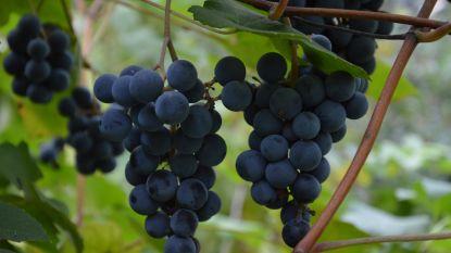"""Nieuw voor in de tuin: druiven zonder pitjes. """"Iedereen kan druiven telen"""""""