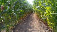 Maïsdoolhof in de Steenstraat opnieuw open tot eind augustus