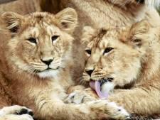 Droevig nieuws uit Blijdorp: drie leeuwenwelpjes overleden na geboorte