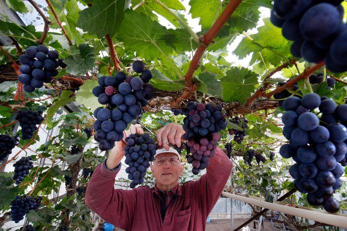 Hobby-druiventeler Gerrit Schrijver bij zijn Frankenthaler blauwe druif.
