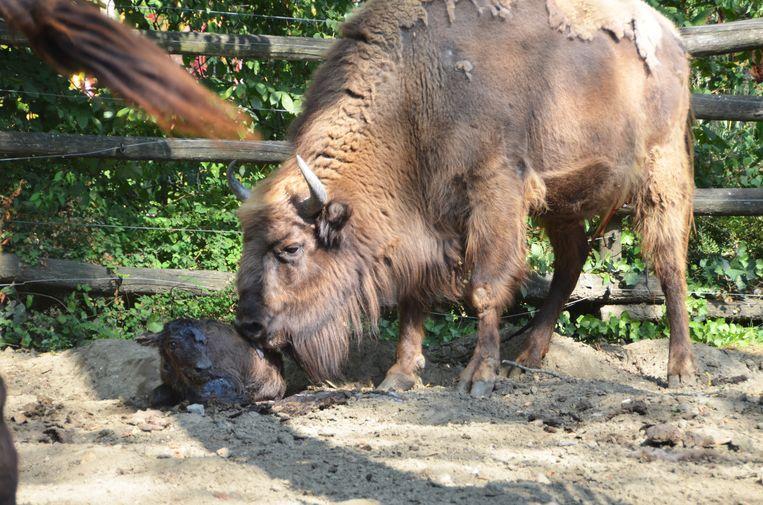 Mama Iphedea begon na de geboorte haar jong onmiddellijk schoon te likken.