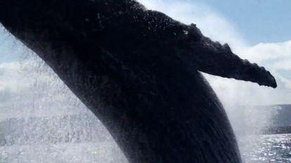 Slik! Enorme walvis verrast zeilers met monsterlijke sprong vlak bij boot