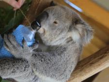 Koala's koelen af met flessen ijswater