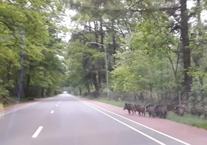 Zes zwijnen zoeken een veilig heenkomen op de Groteweg in Wapenveld.