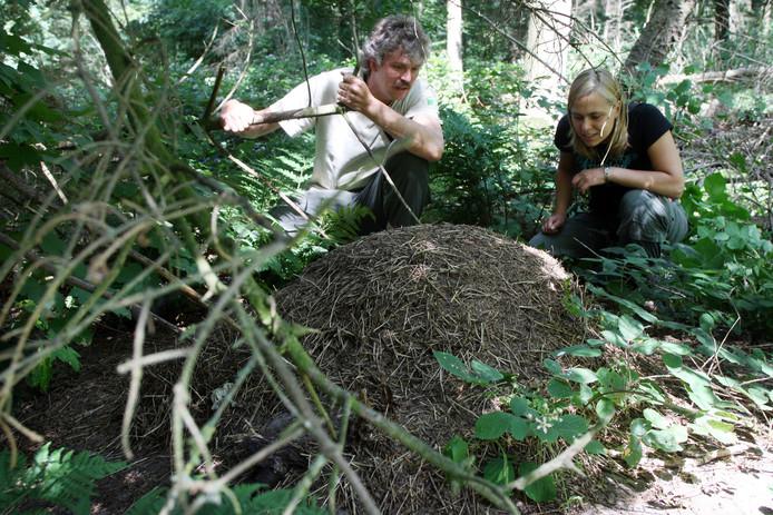 Koepelnest van rode bosmieren in het Kuinderbos.