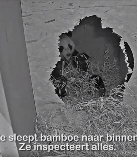 Panda zwanger? Hormoonspiegel Wu Wen stijgt en ze is steeds vaker in kraamhol
