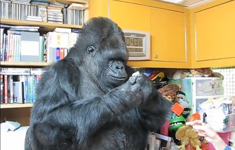 Koko de gorilla.
