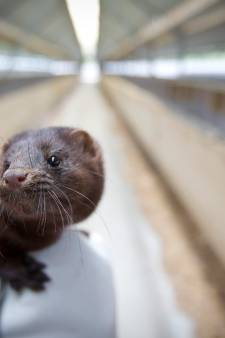 Coronabesmetting bij nertsenbedrijf Altforst met 12.000 moederdieren