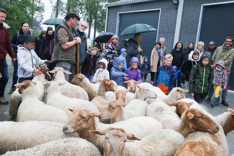 Op wandel met de schapen, het kan in domein Puyenbroeck.