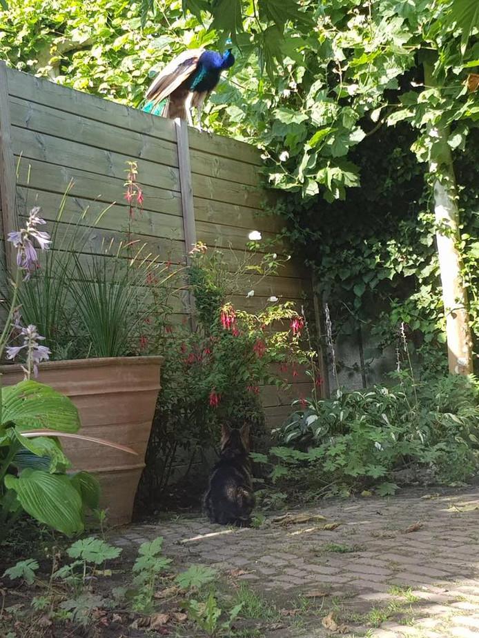 Een pauw in de tuin, poes Sushi kijkt toe.