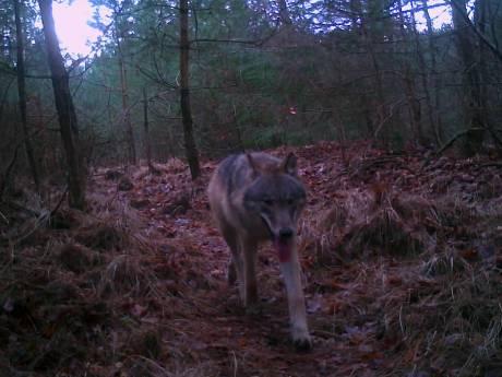 Pleidooi voor wolfvrije gebieden in Gelderland