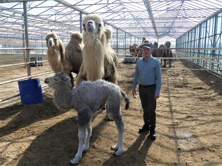 Geert Sergeant met het kamelenveulen en Kim, de moeder.