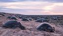 De groene zeeschildpadden op Raine Island.