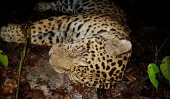 Hun eigen jaguars zijn op, dus halen de Chinezen ze nu uit Suriname