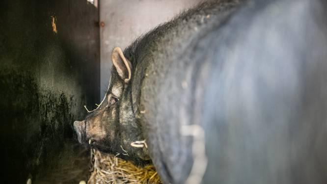 Brandweer vangt hangbuikzwijn in leegstaand pand