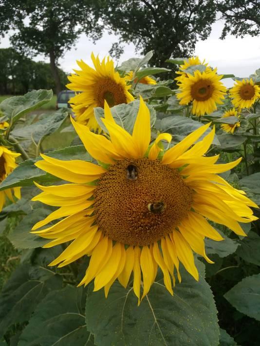 Insecten komen massaal op de zonnebloemen af.