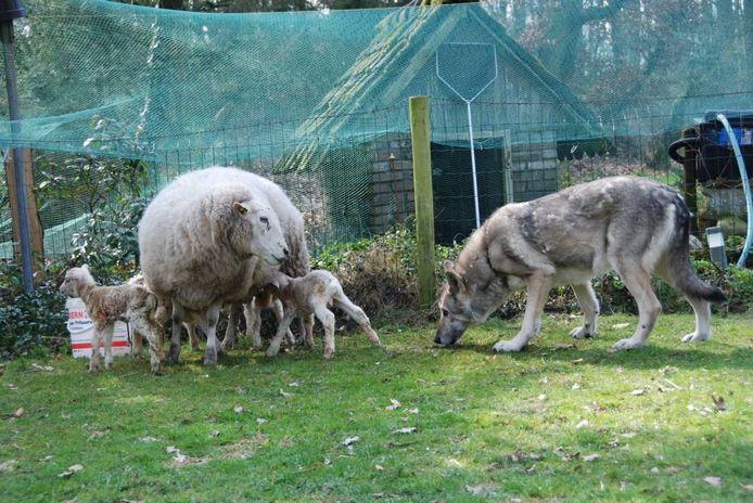 Noah is inmiddels goede vriendjes met de schapen.