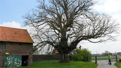 Procedure gestart om twee bomen van ruim 300 jaar oud te erkennen als monument