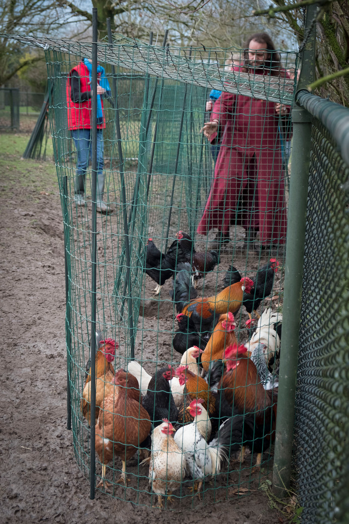 Met voer en een beetje drijven lopen de hanen en kippen vanzelf het hok in.