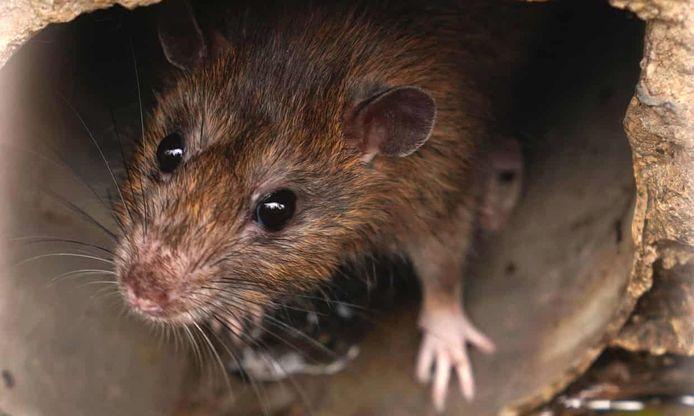 Ratten vinden het leuk om zich te verstoppen.