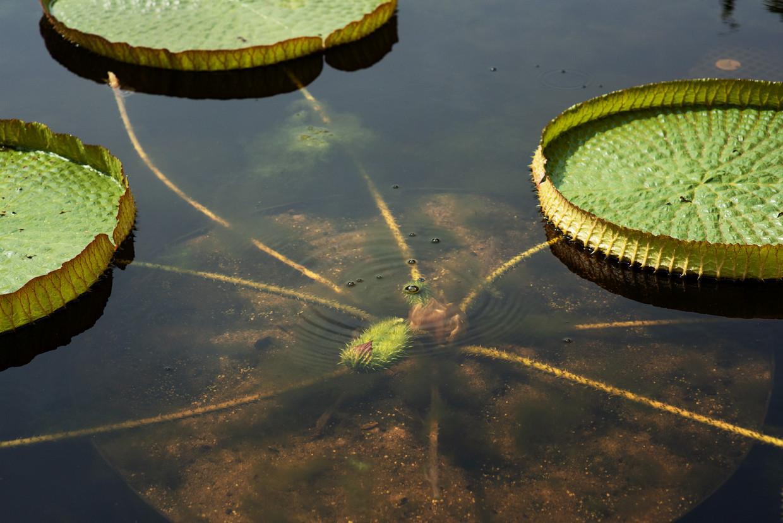 Hortus Botanicus probeert de Victoria lelie elke zomer te laten bloeien.