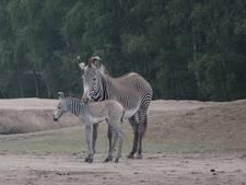 Safaripark Beekse Bergen is een zeldzame Grévyzebra rijker