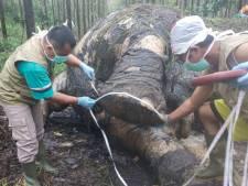 Un éléphant retrouvé décapité à Sumatra