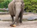De olifant ontdekt de pompoenen.