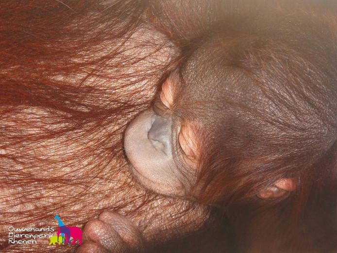 Het donderdag geboren apenjong in Ouwehands.