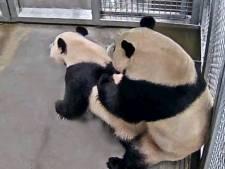Is panda Wu Wen zwanger? 'Even een echo maken, dat gaat niet'