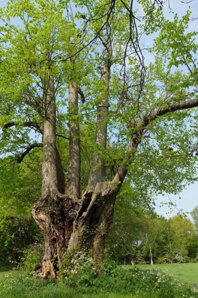 De historische boom langs de IJsseldijk