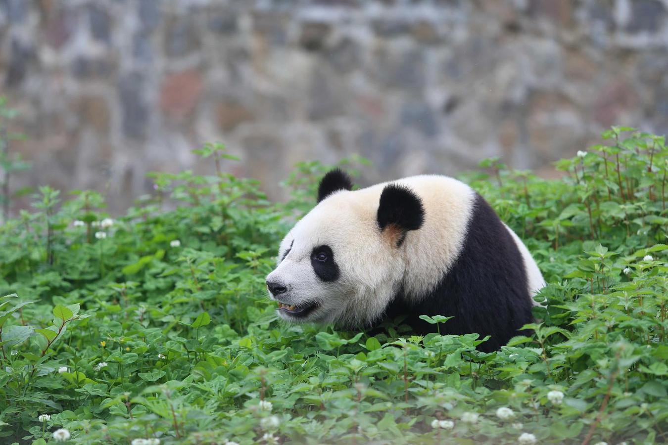 Panda Wu Wen komt in het voorjaar naar Rhenen.
