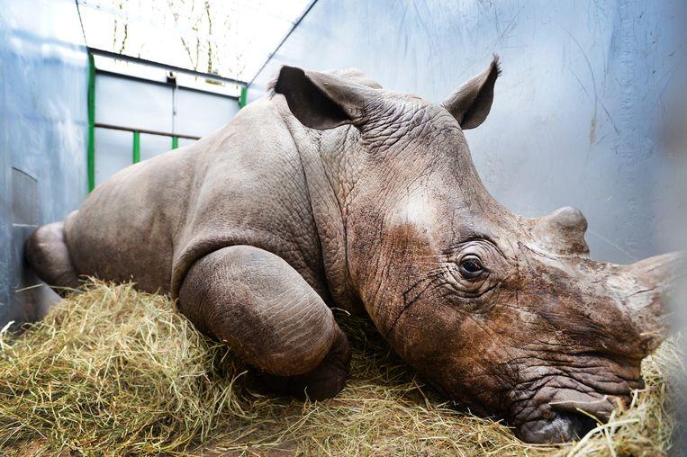 Vince, de bijna 2,5 jarige breedlipneushoorn van Burgers Zoo ligt in een container voor vervoer naar een dierentuin in het Franse Thoiry. Beeld anp