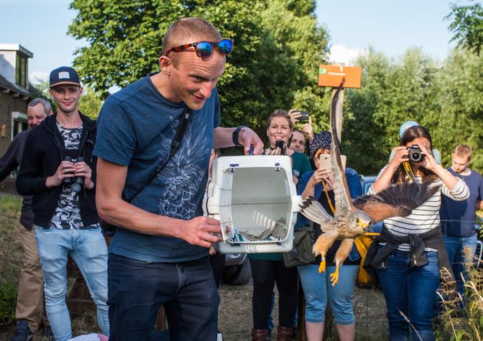 Vrijwilliger David Louwrier van Vogeklas Karel Schot geeft 'zijn' opgelapte torenvalk weer de vrijheid in Strijen.