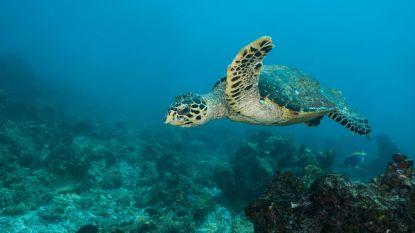 Zeeschildpadden mogelijk aangetrokken door dodelijk plastic omdat het ruikt naar eten