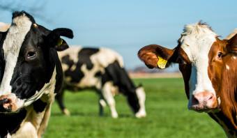 Stormloop op sterfsubsidie voor melkkoeien