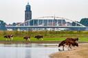 Brandrode runderen van boer Berrie Klein Swormink in de uiterwaarden bij Deventer. Straks staan zijn koeien misschien op een drijvende boerderij.