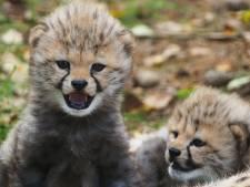 Jonge cheeta's zijn bewijs succesvol fokprogramma Beekse Bergen, 'Jachtluipaarden zijn kieskeurig, net als wij'
