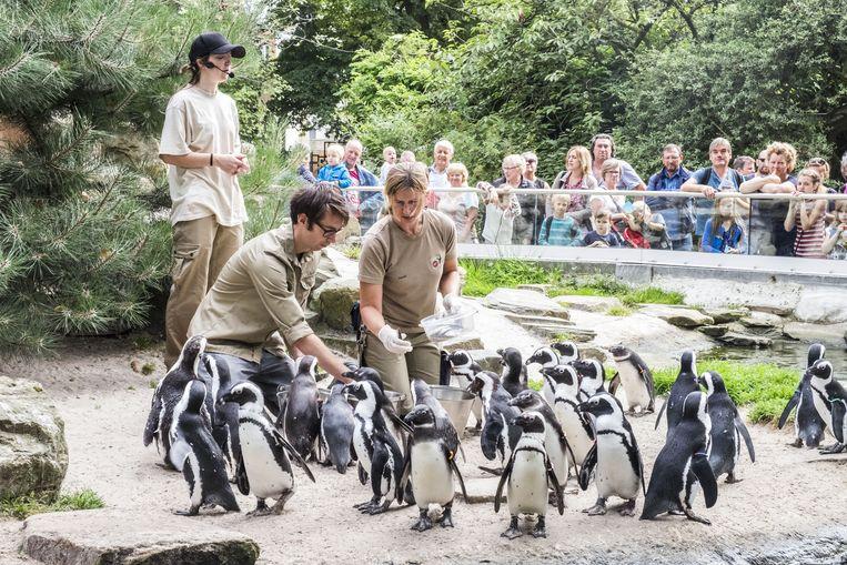 Onze reporter Dieter Lizen probeert samen met verzorgster Heidi een hongerige kolonie pinguïns te voederen.