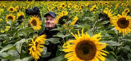 Duizenden zonnebloemen aan rand van Holten in bloei, nu nog het perfecte plaatje maken